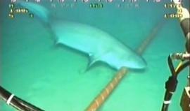 Tubarão mordendo cabo submarino